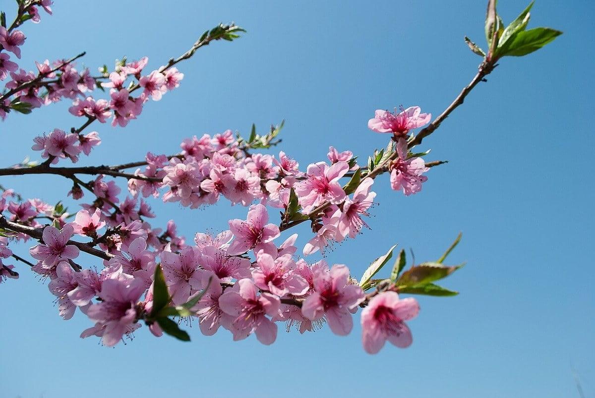 peach blossom on Tet holiday Vietnam